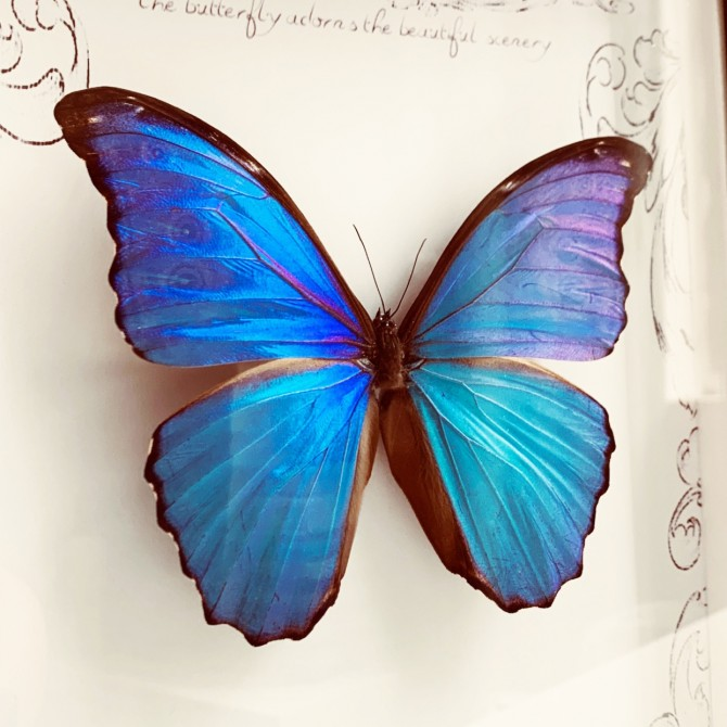Iridescent Blue Butterfly Specimen in Photo Frame